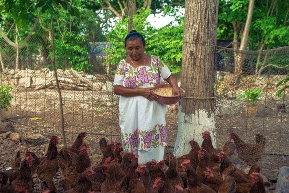 Chickens provide living incomes