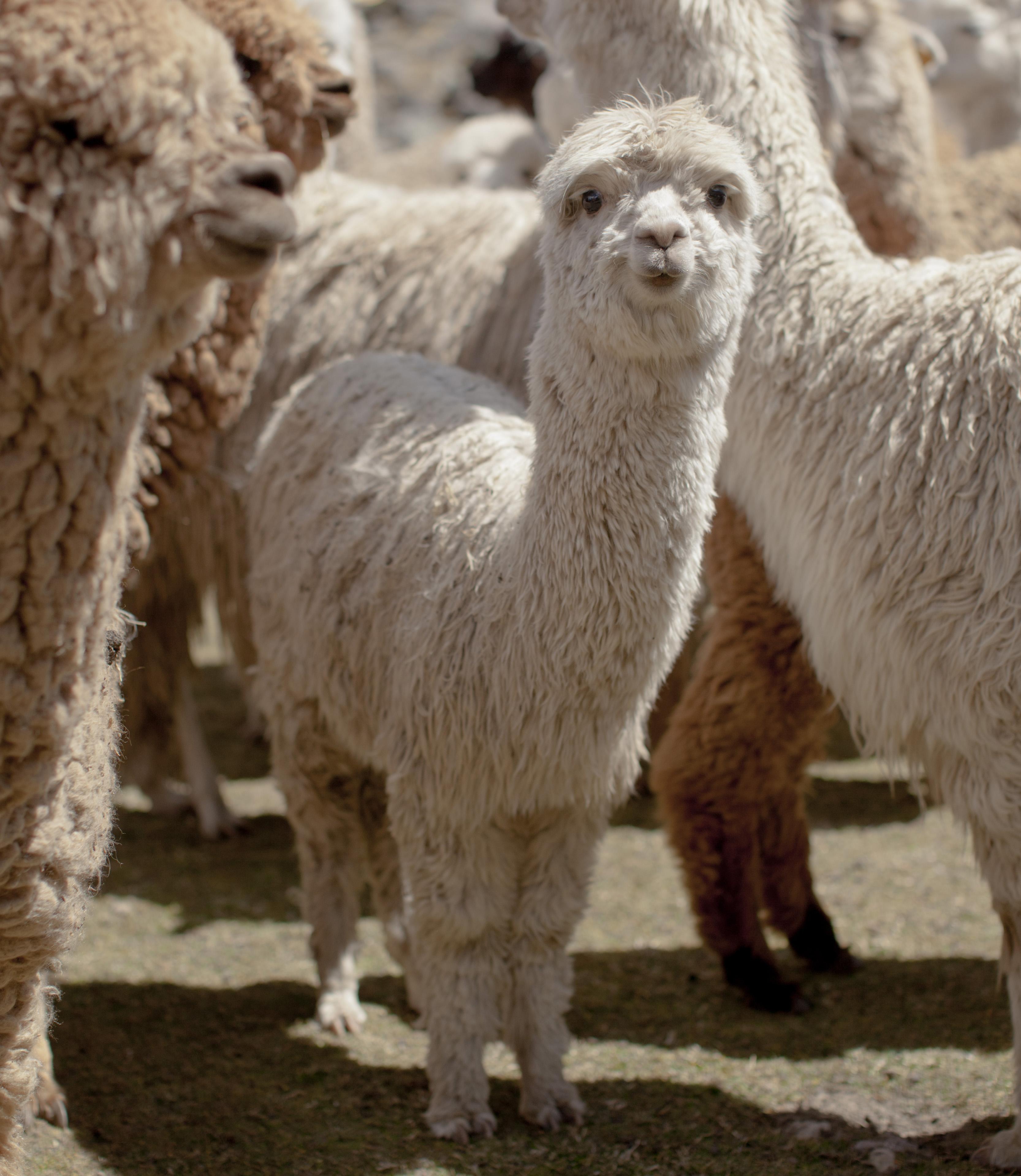 Baby llama among herd of llamas.