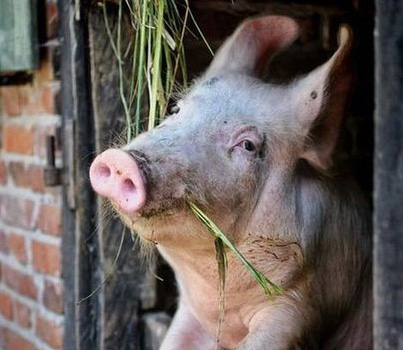 Pig looking out of barn window.