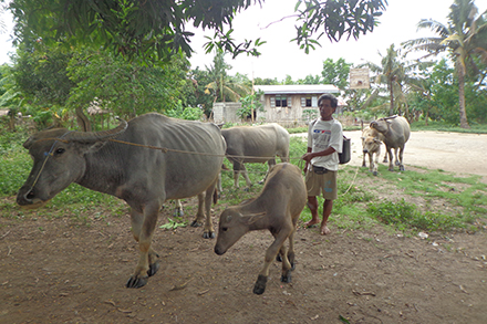 Galo works hard to take care of his livestock.