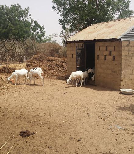 goats in Senegal