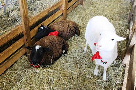 Barnyard animal meet and greet.