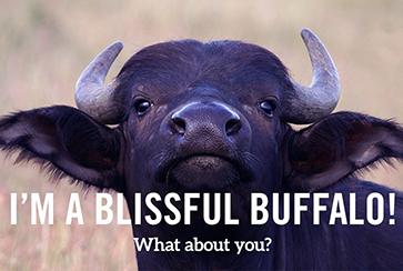 quiz result: blissful buffalo