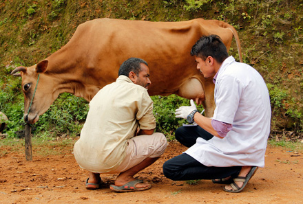 vet techs check a cow in Nepal