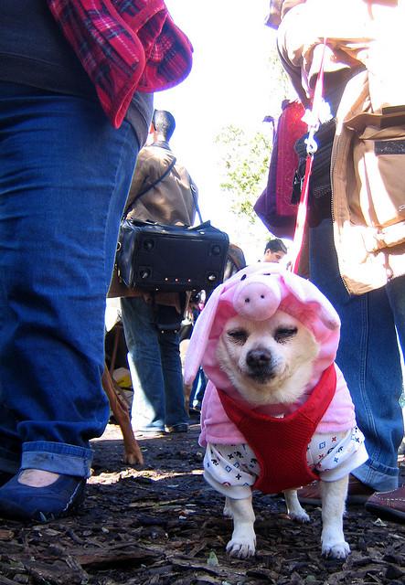 Halloween Pig