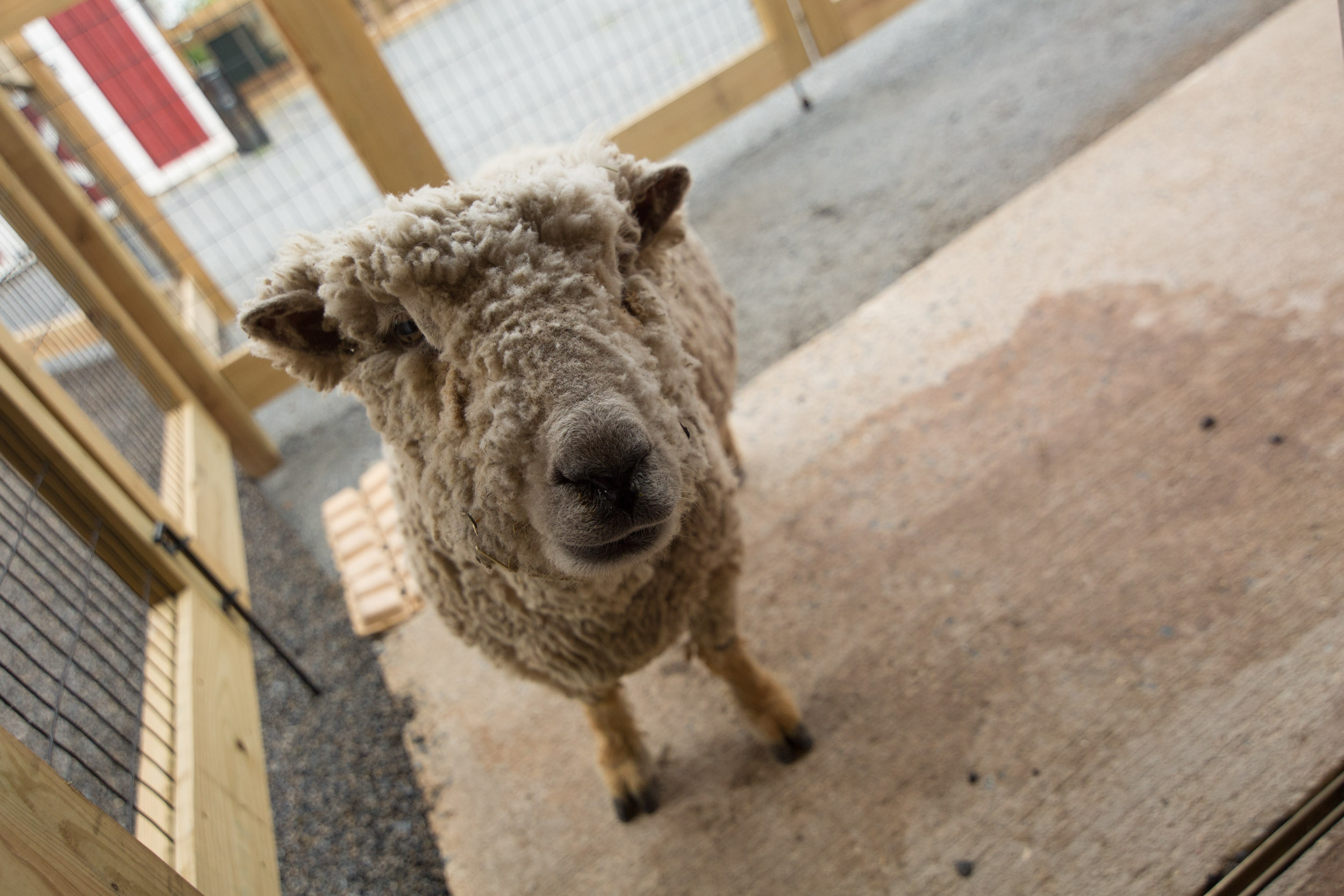 A wooly sheep sniffs the camera.