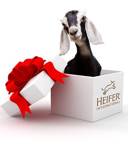 A goat in a present box.