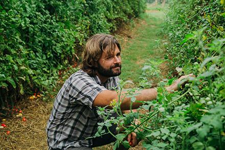 Brandon Gordon harvests tomatoes.