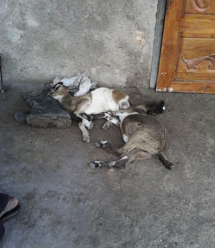 Goats after Hurricane Matthew