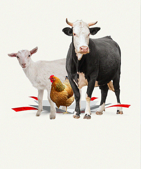 A cow, a chicken and a goat bursting out of a gift box.