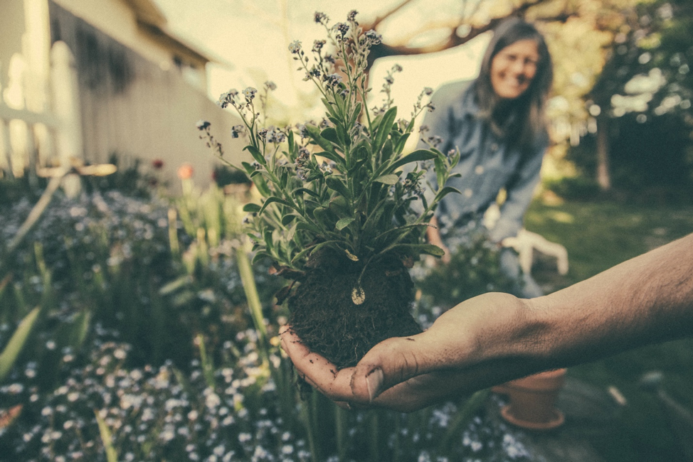 A hand planting flowers.