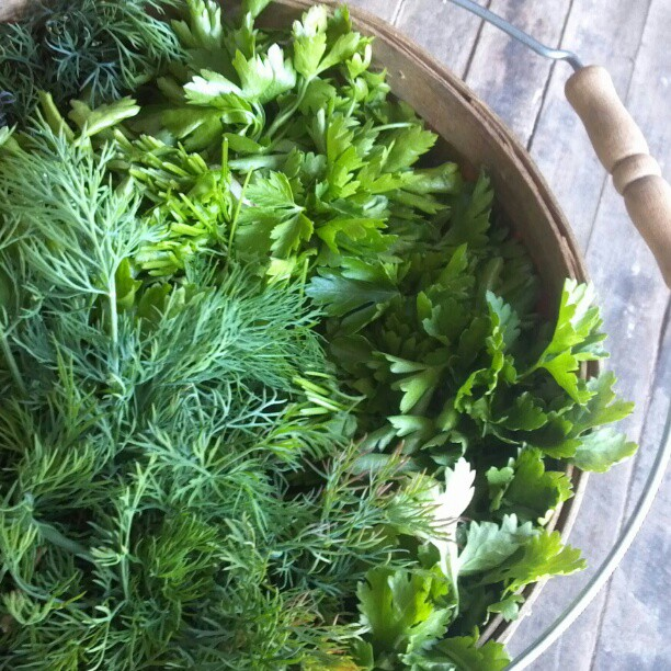 Mixed herbs in a bucket. Photo by Anna Mullin