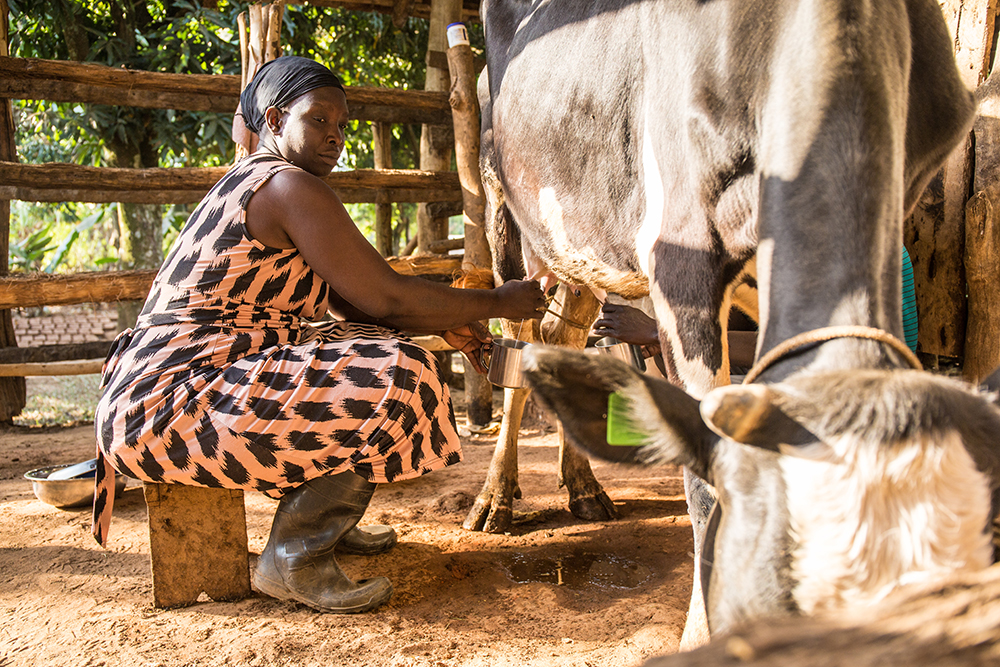 Lily Atube, 35, milks one of the family's dairy cows.
