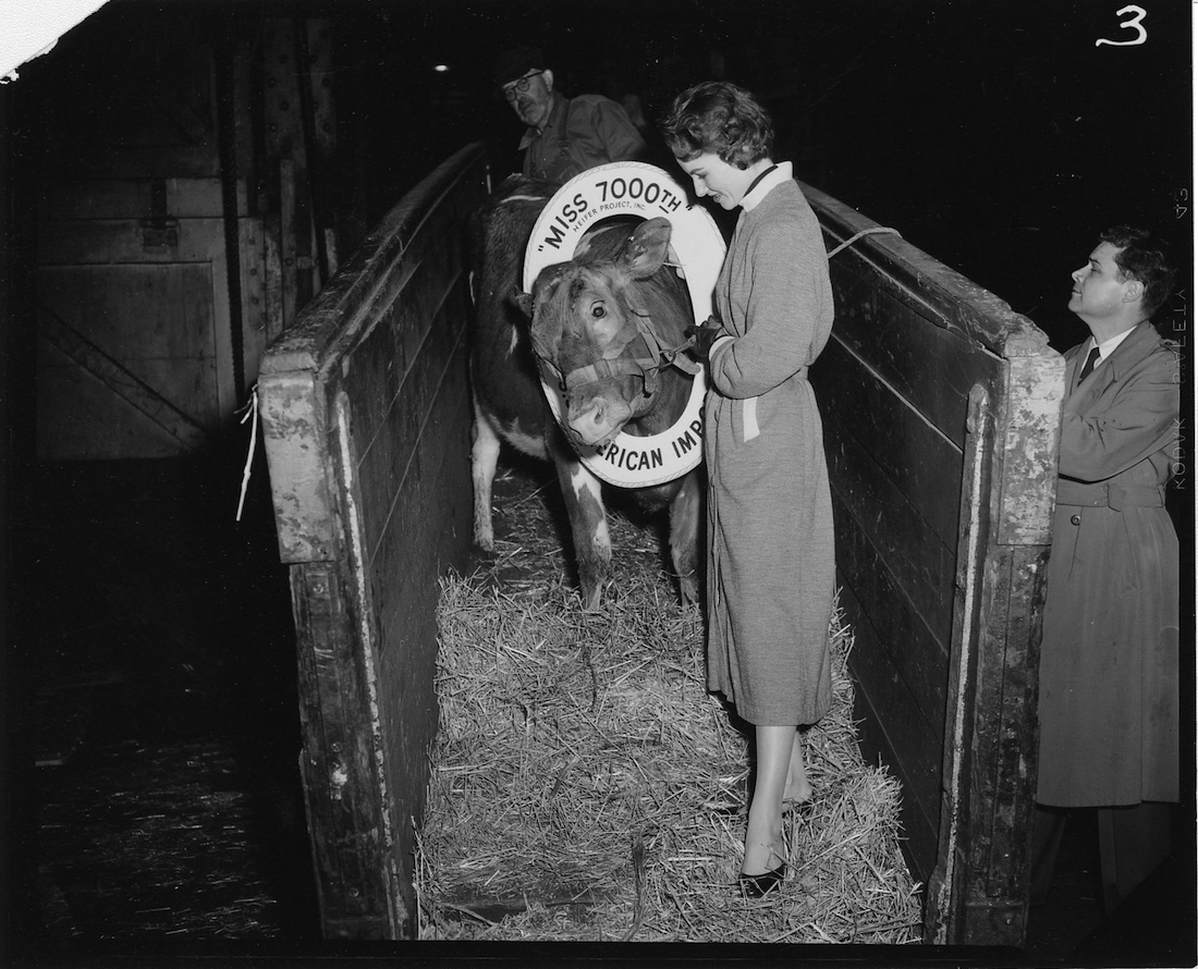 A black and white photo of a young woman leading a cow down a ramp.