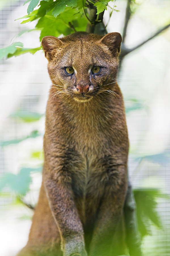 A jaguarundi sits and looks directly at the camera.