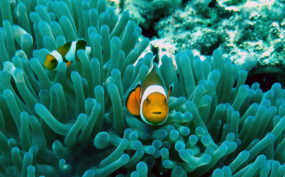 Two clownfish in a coral reef.
