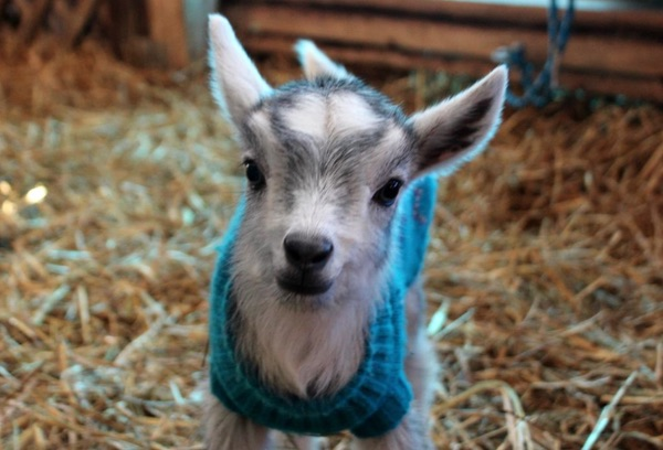 A smiling baby goat in a blue sweater.