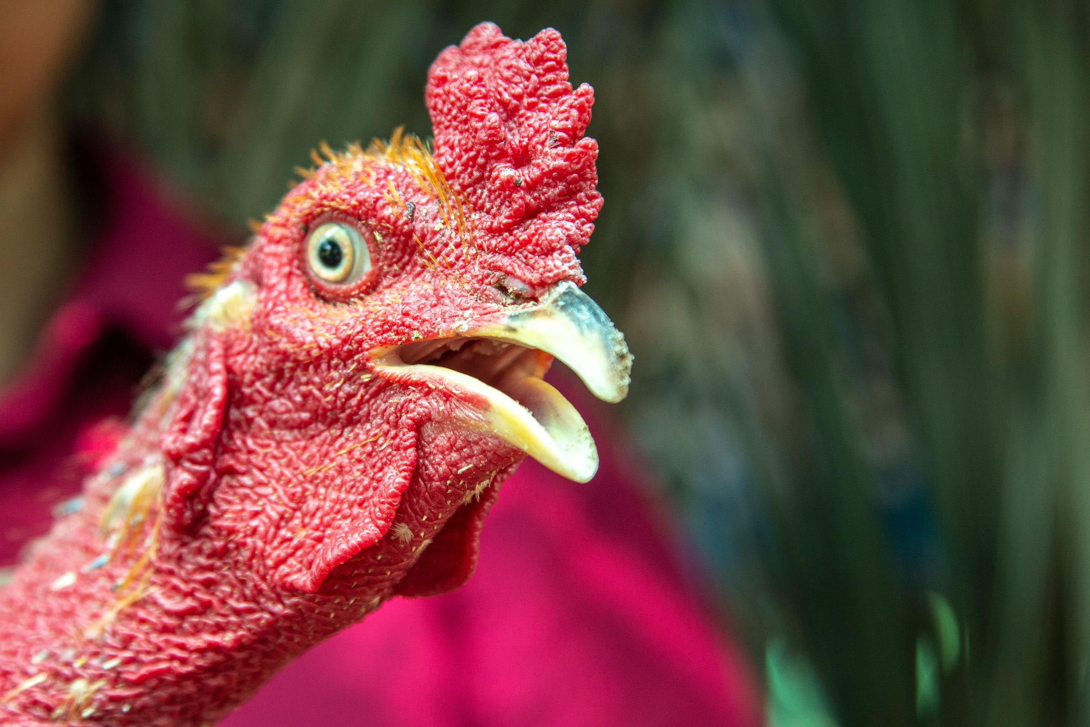 A close up shot of the head a chicken.