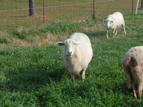 Heifer Ranch Sheep