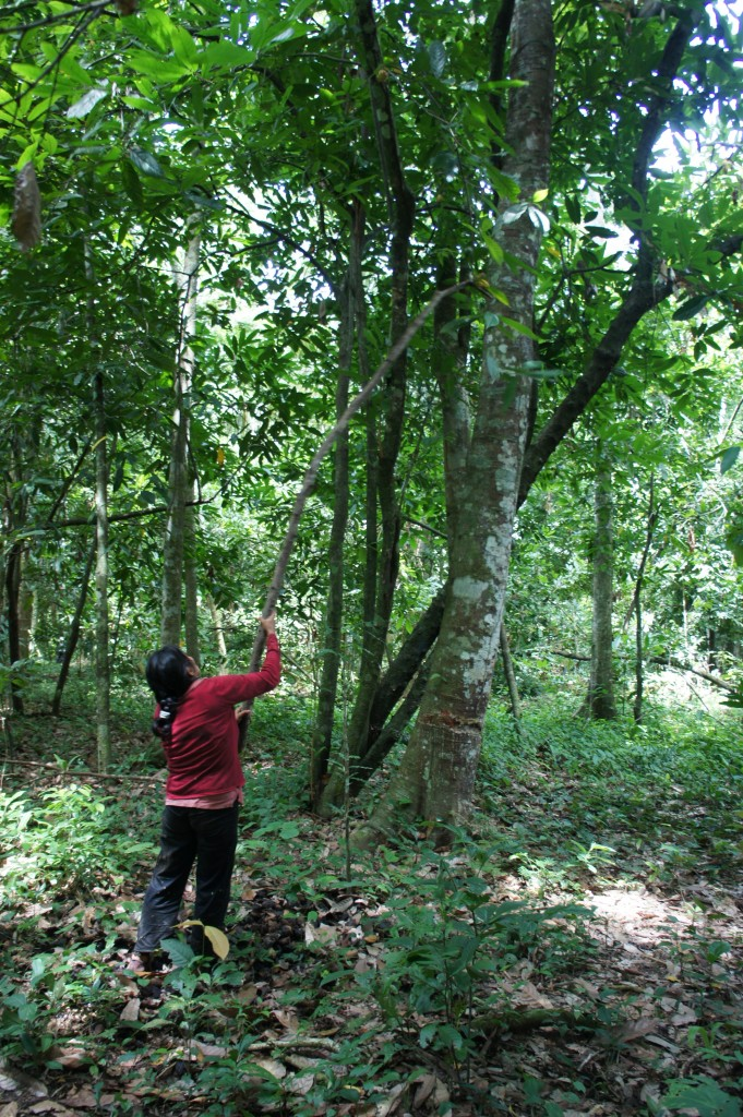 For the fruits found higher on the tree, many people use a tree branch with a wire circle to harvest the cacao.