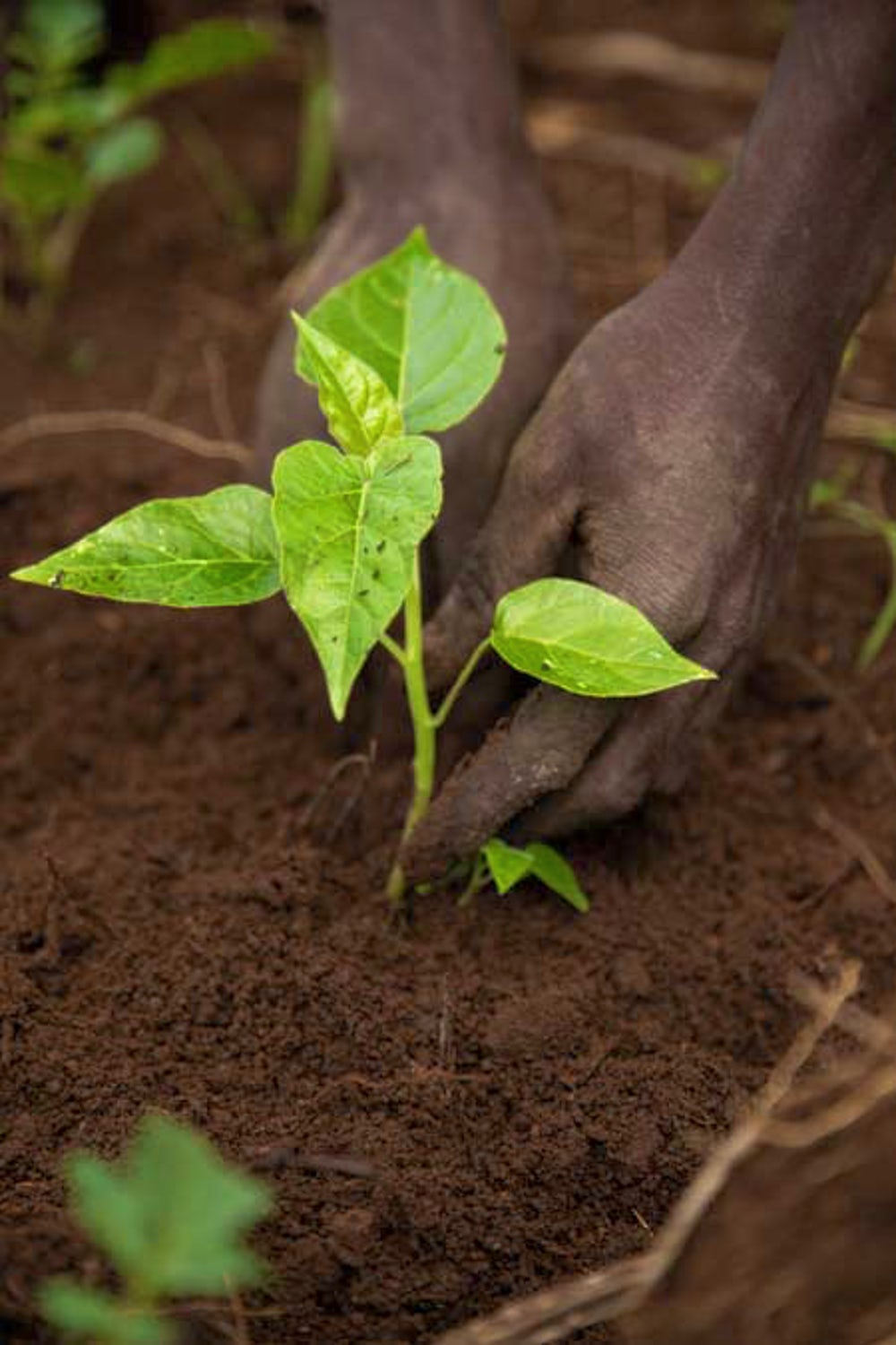 Hands placing plant in soil