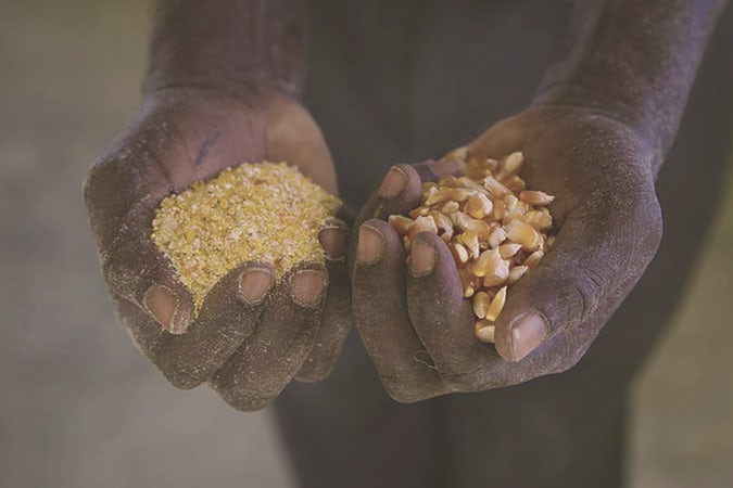 Two hands holding corn and cornmeal.