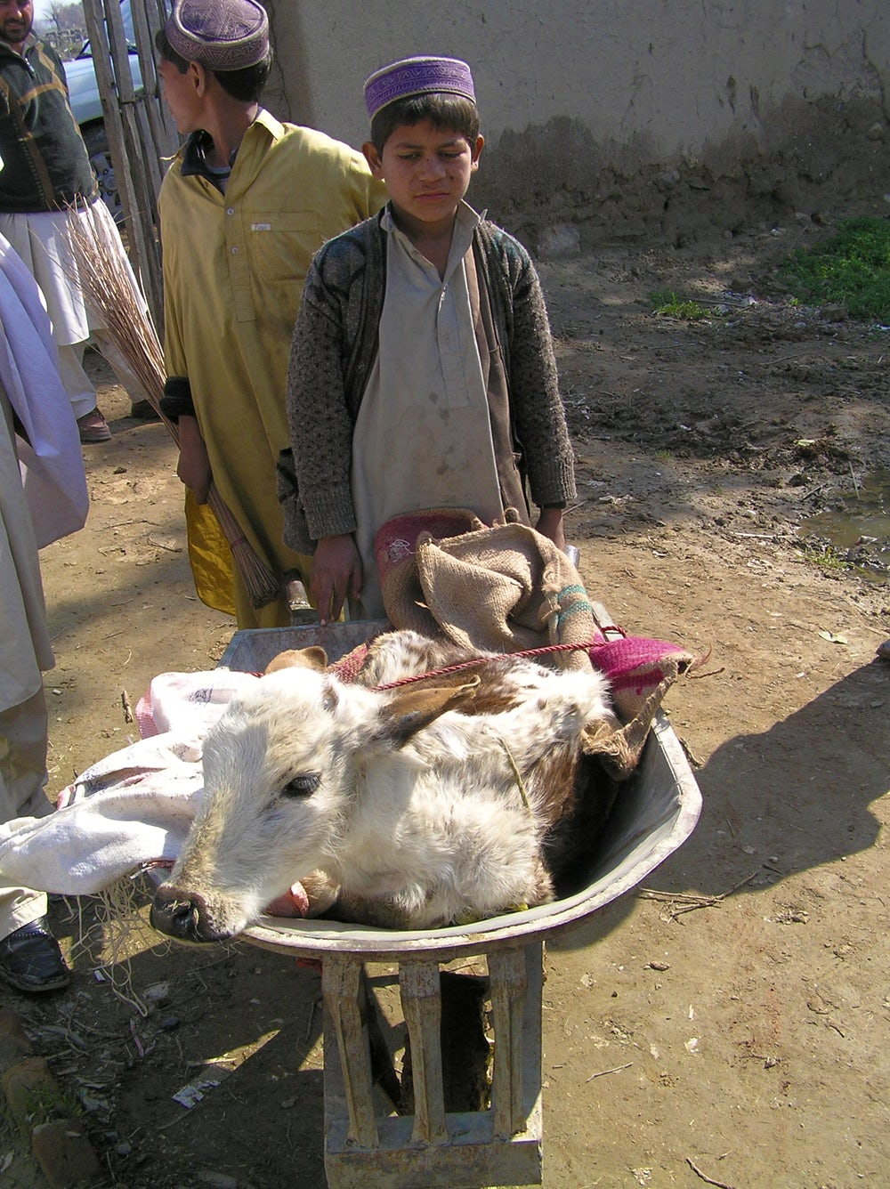A young boy brings his calf with diarrhea to the veterinary field unit (VFU) in a wheel barrow for treatment. Such a calf represents an extremely valuable asset for a poor farm family in Afghanistan and reliable access to veterinary care at a VFU is greatly appreciated (caption and photo by David Sherman).