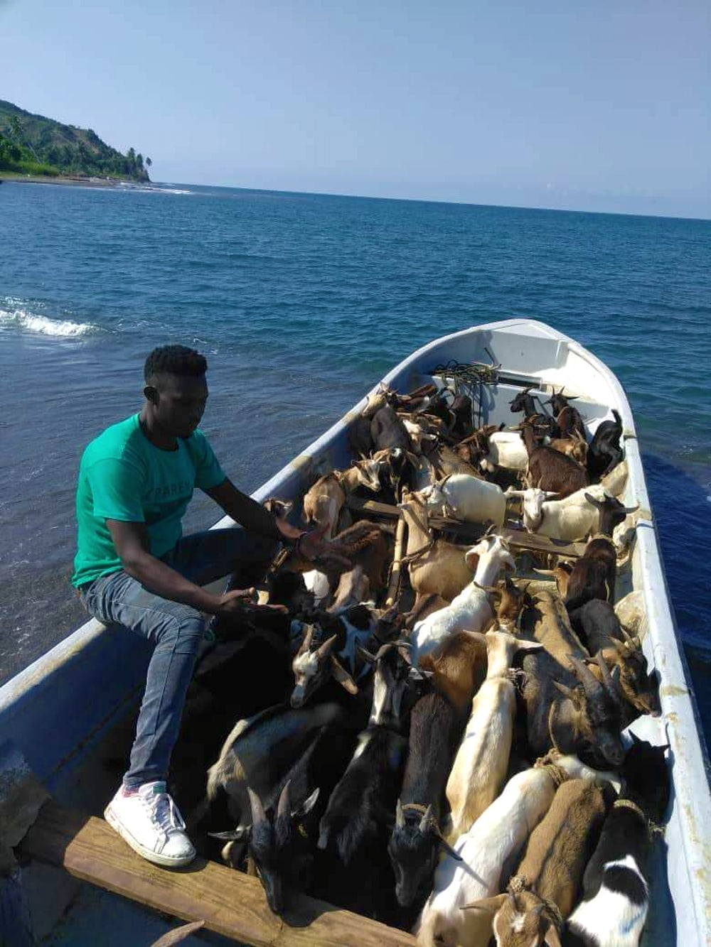 goats on boats