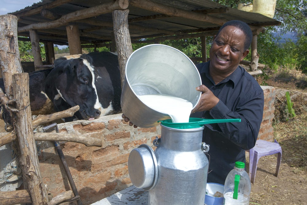 A Kenyan dairy cow farmer pours milk into a container.