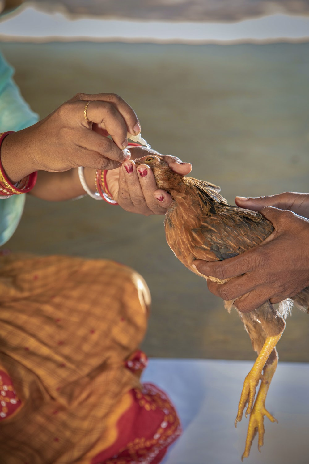 A chicken receives a vaccination in India