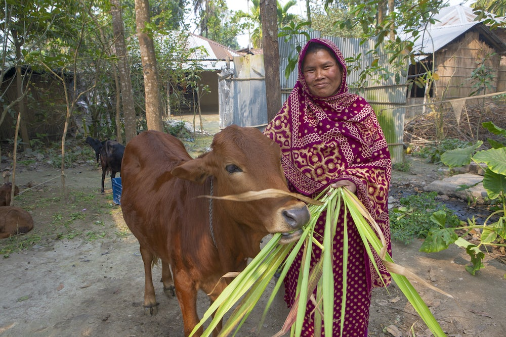A smiling Bangladeshi woman feeds her cow green leaves.