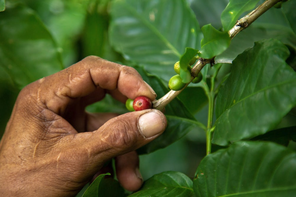 A close up shot of a farmer's hand inspecting green coffee berries.