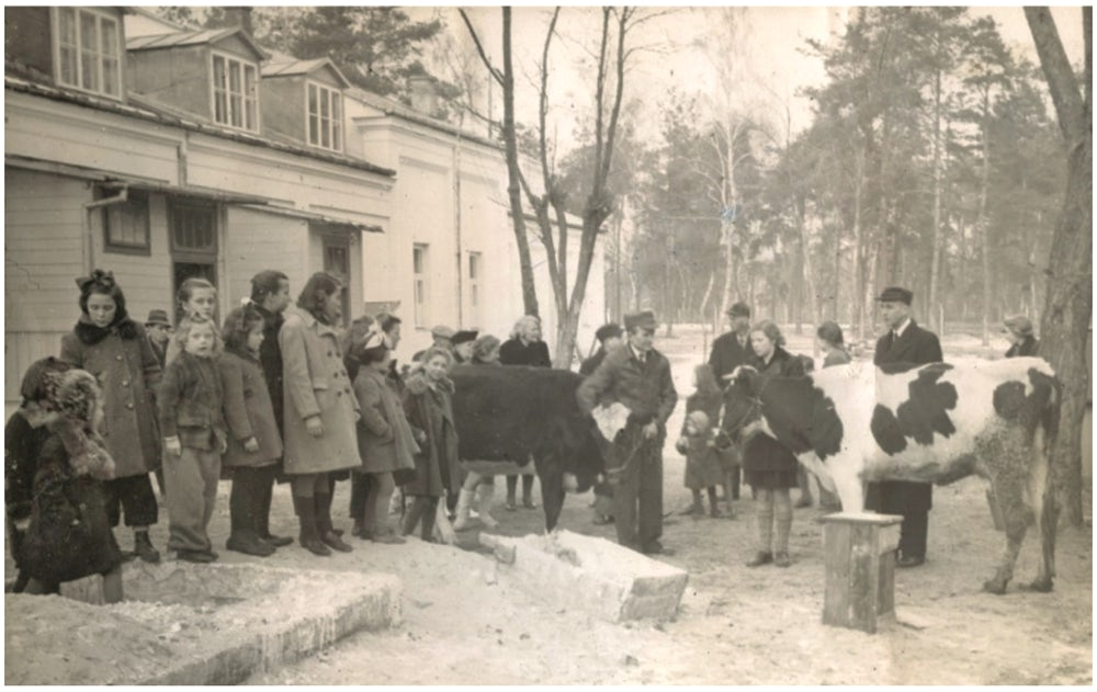 Two heifers arrive at the Villa Skaut orphanage in Konstancin, Poland.