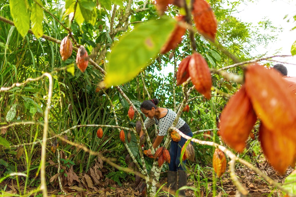 Digna Silva among chocolate trees full of ripe, orange cacao pods. She bends to harvest one.