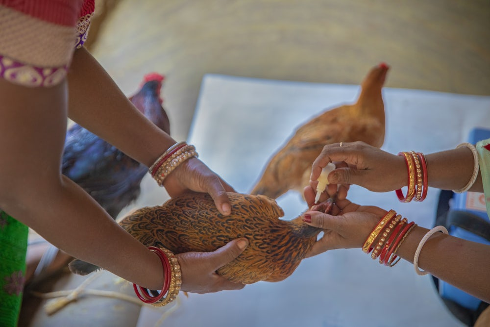 A brown chicken held gently in two hands, waiting to be vaccinated.