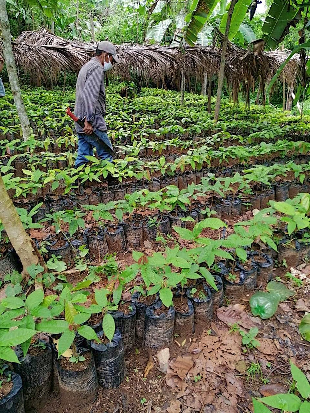 A man walks through rows of green cacao plants, away from the camera. He is wearing a surgical mask to protect himself from the COVID-19 virus.