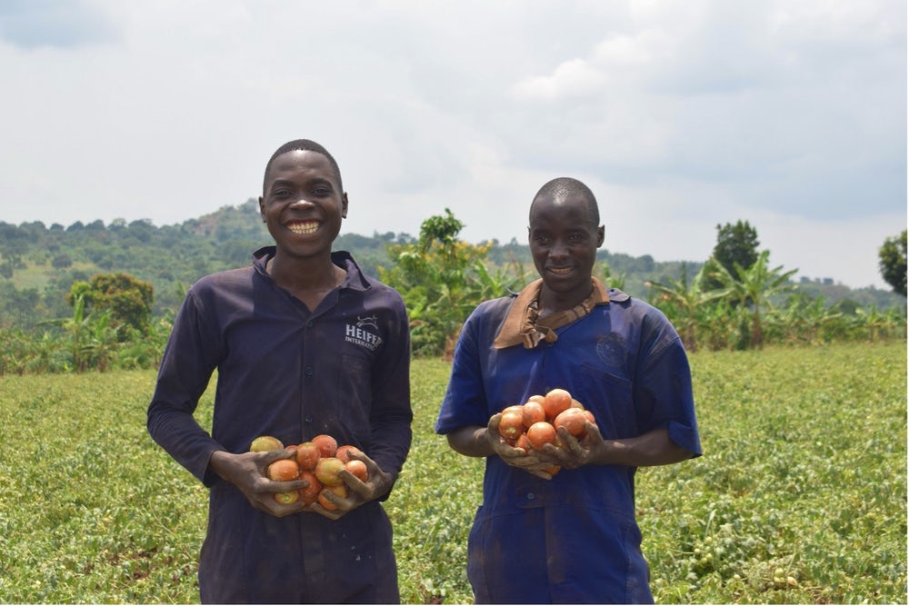 Two Ugandan farmers stand in their tomato field.