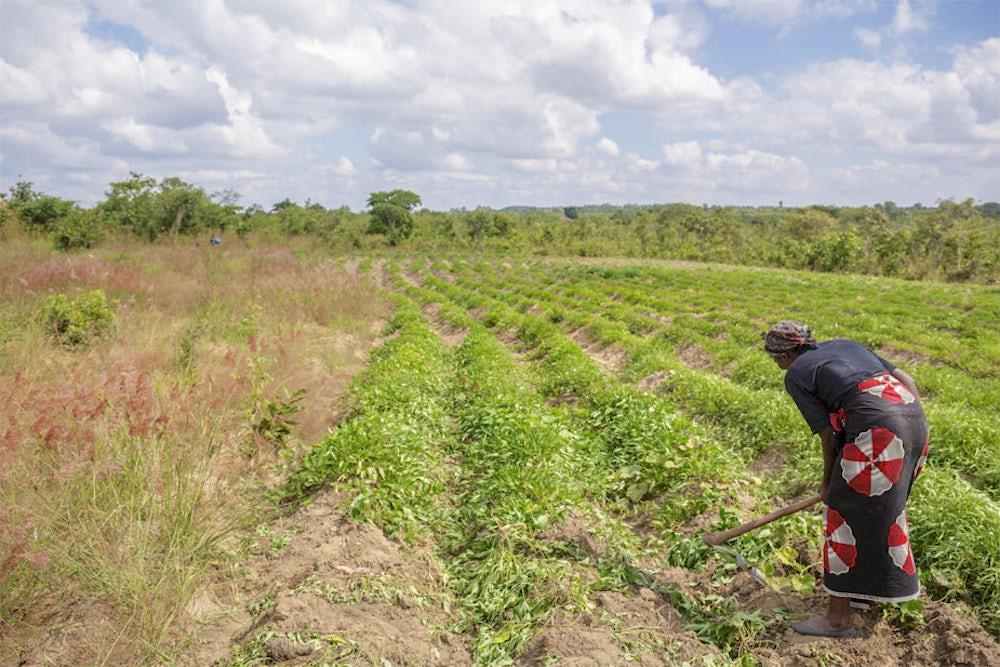 Farmer works in her familys sweet potato field in Malawi.