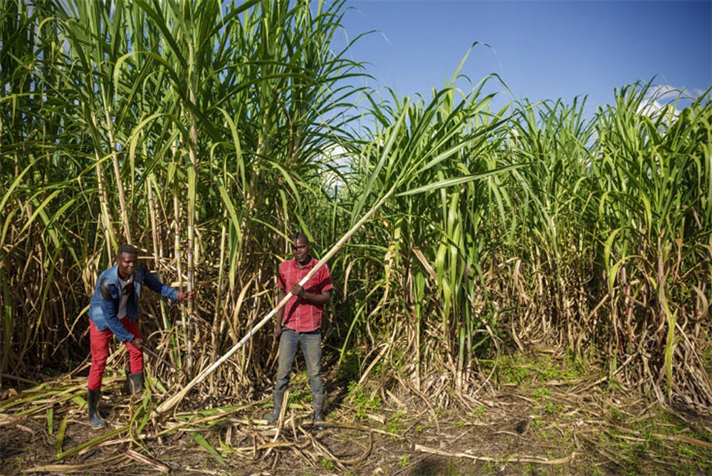 Farmer and farm worker Sevia Matinanga harvest sugar cane in Zambia.