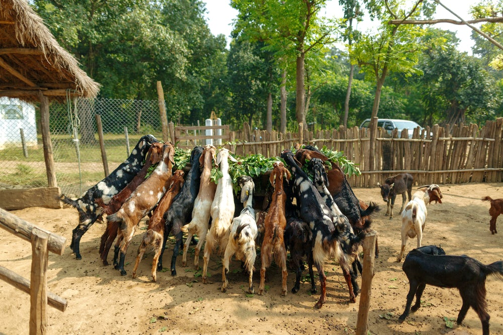 More than 10 goats stand on their hind legs and eat fodder from a raised feeding tray.
