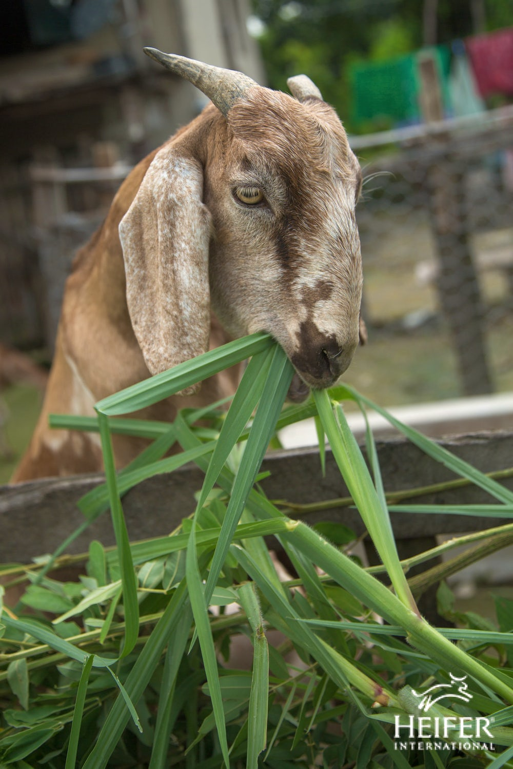 A close-up of a goat chewing on some grass.