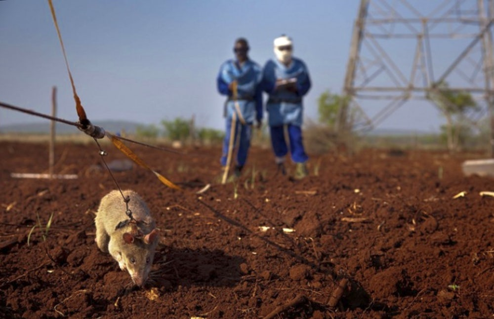 a HeroRAT performs a land mine test by sniffing the ground to detect TNT. Trained rats have proven to be more effective than metal detectors in finding abandoned landmines.