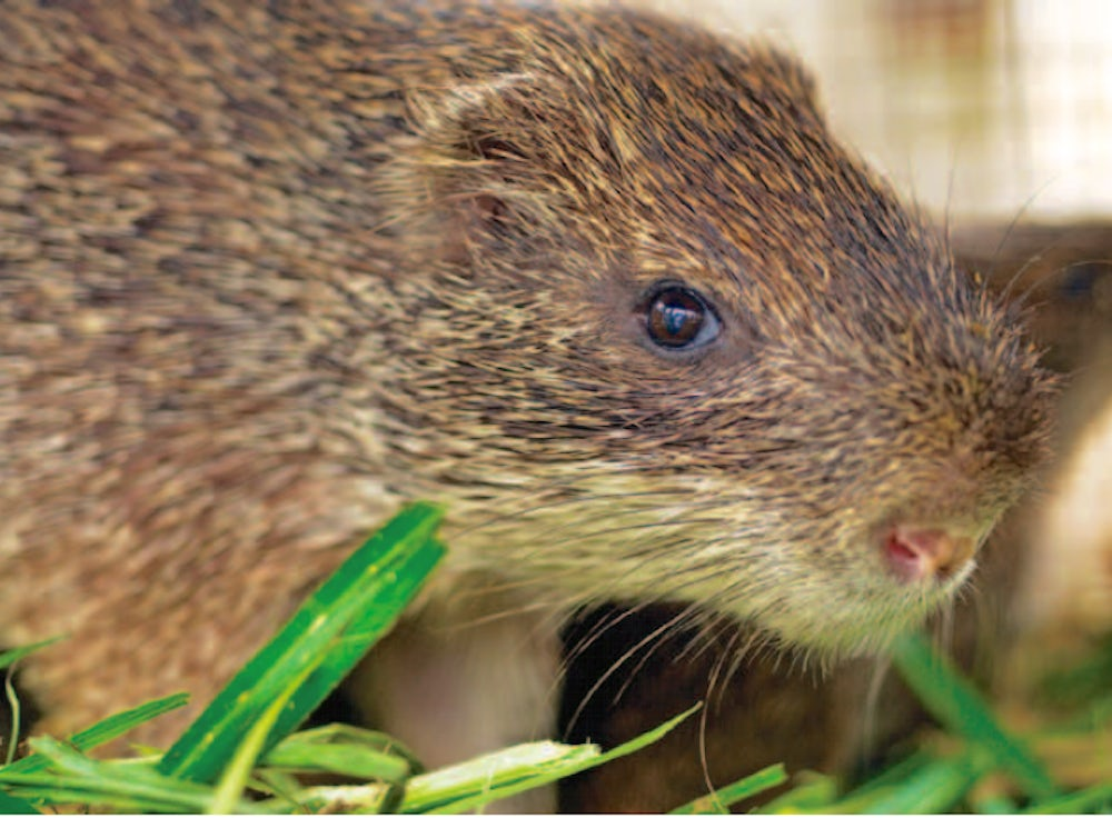 a large brown rodent looks into the camera