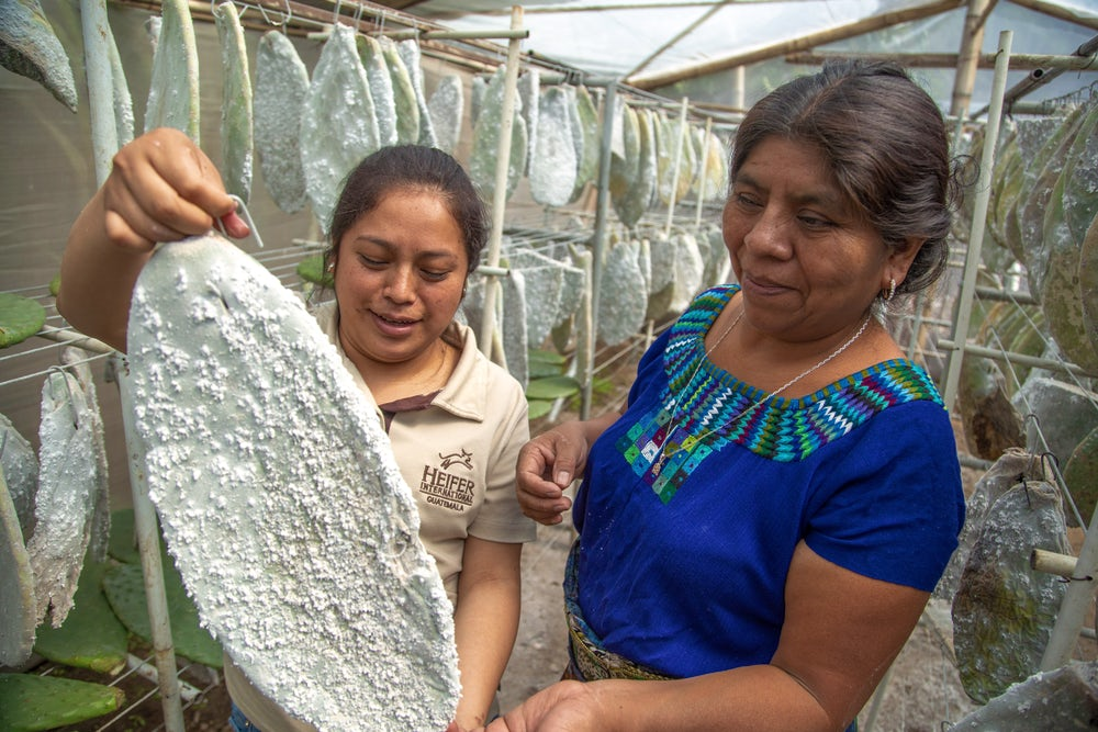 Two women (one in traditional maya clothing and one in a tan polo shirt) look at a cactus pad infested with cochineal. The cactus pad is covered in white, flaky material