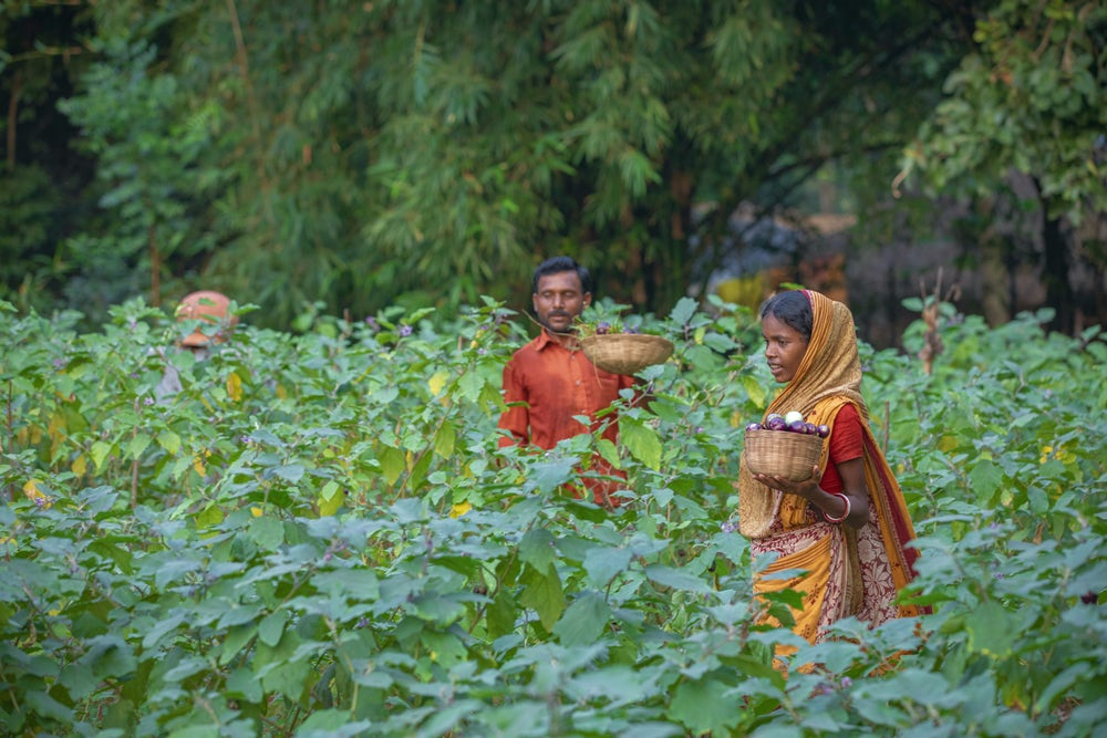 An Indian woman and man harvest eggplants in their field.