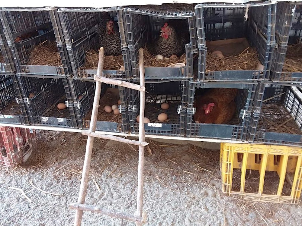 Chickens roosting in two rows of plastic crates.