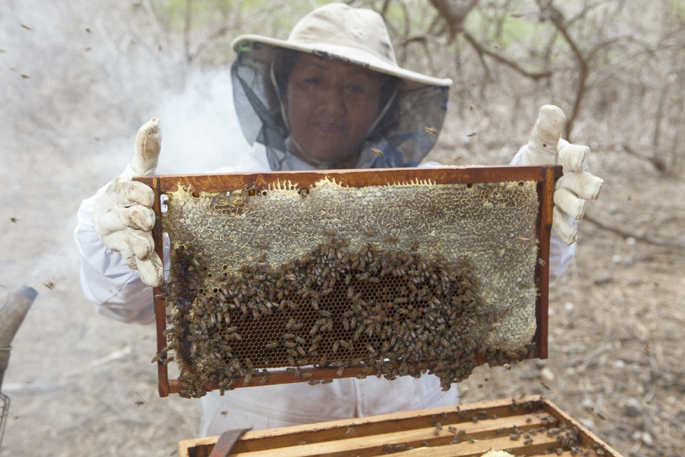 A woman in a bee suit holds up a beehive division board full of bees.