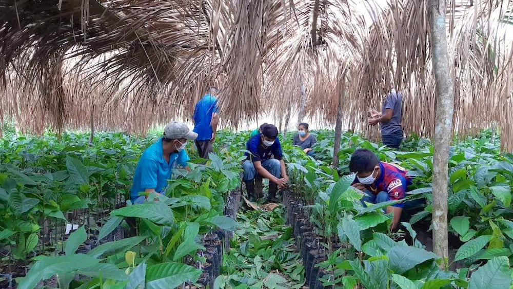 Chocolate producers (wearing masks in accordance to COVID-19 guidelines) care for chocolate plants under a canopy of palm trees