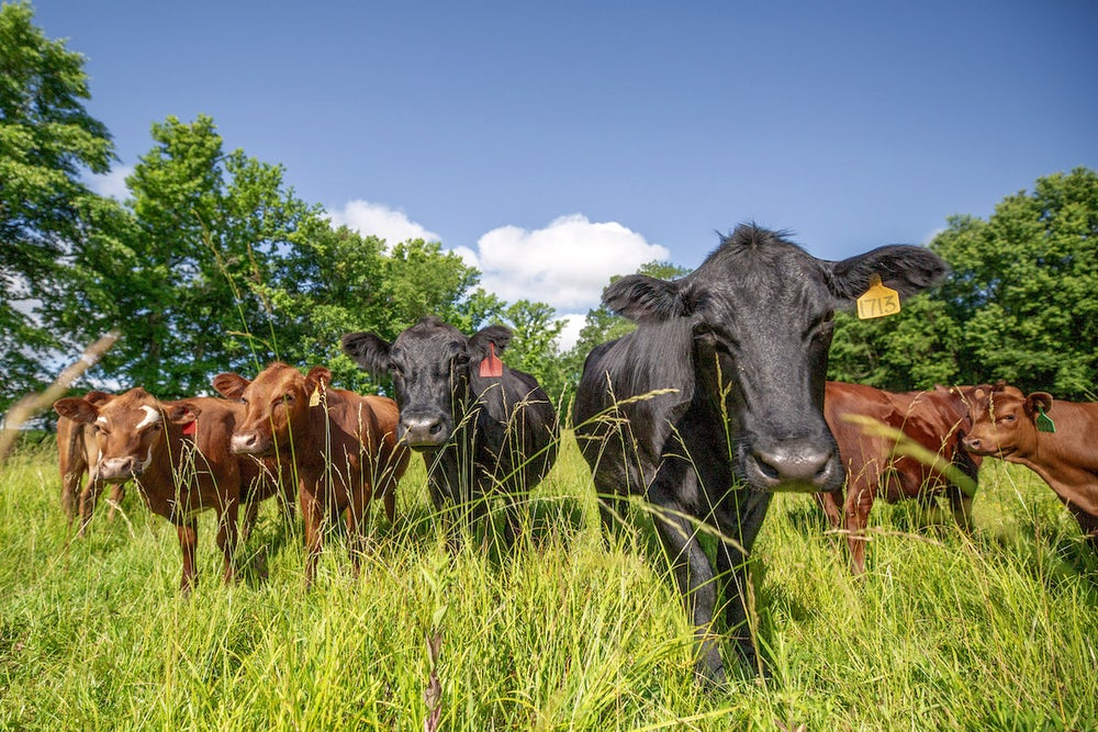 Livestock are crucial to regenerative agriculture and healing the soil.