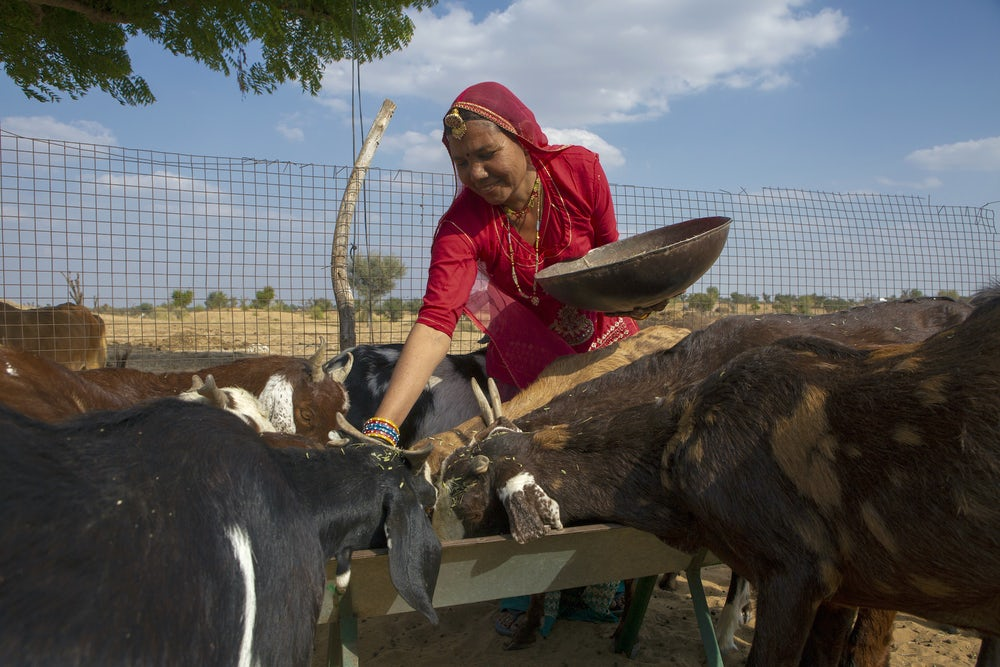 An Indian woman leans down to feed her goat herd fodder.